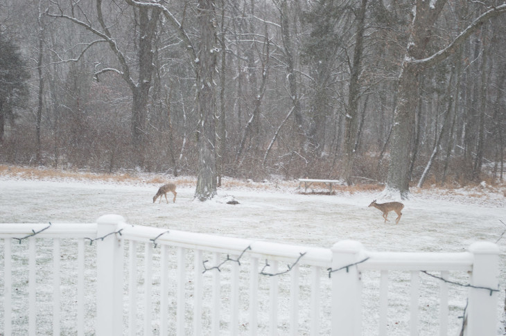 Deer grazing in a backyard in Pennsylvania